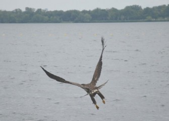 The juvenile Bald Eagle takes off over the lake. The wing span of a fully mature Bald Eagle will reach from nearly six to over seven feet.