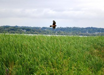 A Northern Harrier hunts in a restored wetland area near shore. The restoration along Onondaga Lake's western shoreline includes improved green spaces, open areas, and enhanced habitat for aquatic organisms and wildlife.