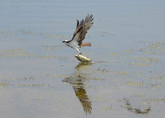 An Osprey catches a largemouth bass along the shoreline. Underwater habitat is being improved, creating better conditions for various fish species.