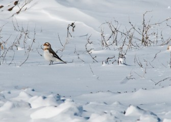 """Snow Bunting"" Photo by Michele Neligan"