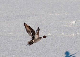 """Northern Pintail in Flight"" Photo by Michele Neligan"