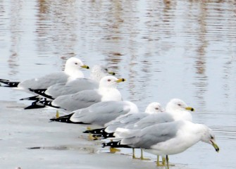 """Ring-Billed Gulls"" Photo by Suzanne Ray"