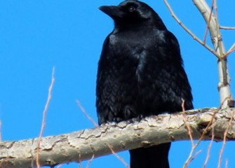 """American Crow"" Photo by Suzanne Ray"