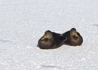 """American Black Ducks"" (pair) Photo by Cheryl Lloyd"