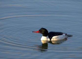 """Common Merganser"" (drake) Photo by Cheryl Lloyd"