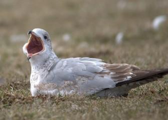 """""""Ahhh"""" Gull Photo by Cheryl Lloyd"""