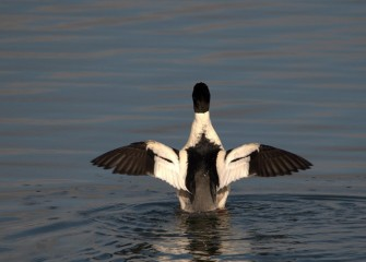"""The Conductor"" Common Merganser (drake) Photo by Cheryl Lloyd"
