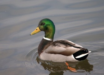 """Mallard Green"" (drake) Photo by Cheryl Lloyd"