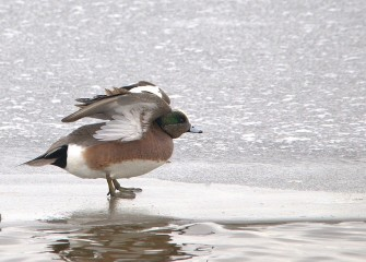"""American Wigeon"" (drake) Photo by Cheryl Lloyd"