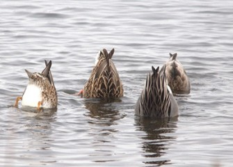 """Bottoms Up"" Gadwalls Photo by Cheryl Lloyd"