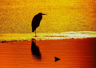 """Red in the Morning, Heron Snoring"" Photo by John Savage"