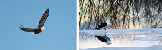 "Left: ""Eye in the Sky"" by Greg Craybas Right: ""Great Black-backed Gull Long Branch Park"" by Michele Neligan"