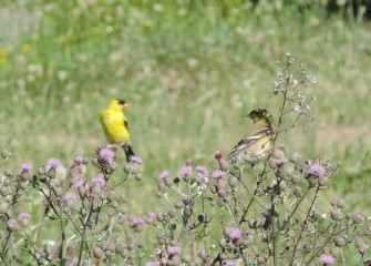 A breeding pair of American Goldfinches was spotted by volunteers birding near the Onondaga Lake Visitors Center.