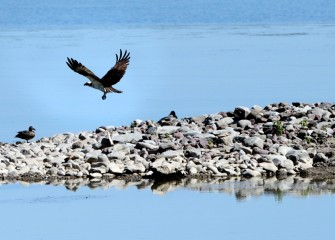 An Osprey is seen along the shoreline hunting fish at the lake.
