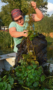 Above: Margaret Carrillo-Sheridan, Principal Engineer at Anchor QEA, unloads water chestnut from a boat.