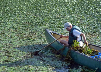 Water chestnut can grow into a canopy that blocks light below and chokes out aquatic vegetation, resulting in lower dissolved oxygen necessary for fish to survive.