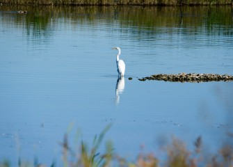 A Great Egret hunts in shallow water in the new wetlands, waiting for a small fish or possibly a frog or other small animal.