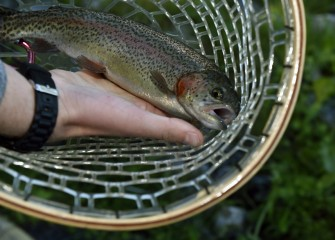 A Rainbow Trout is caught and later released at the event. Annually, Carpenter's Brook Fish Hatchery stocks over 70,000 Brook, Brown and Rainbow Trout in streams and lakes throughout the county.