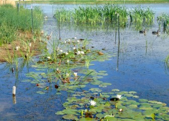 The native American white waterlily provides seeds for ducks, as well as underwater habitat for macroinvertebrates that feed fish, amphibians and reptiles.