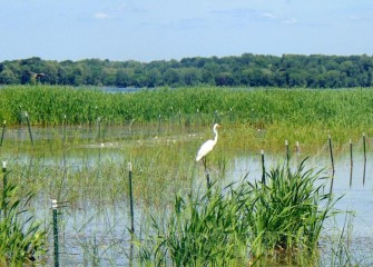 A Great Egret surveys the wetlands from a fence post. Great Egrets were rarely seen at Onondaga Lake before this year.