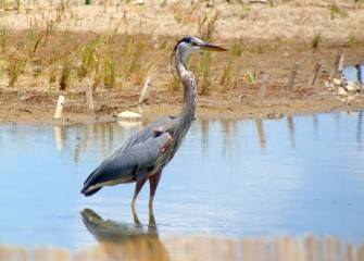 A Great Blue Heron checks out the new habitat area.