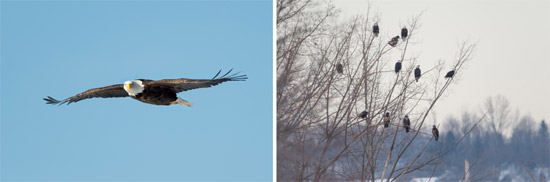 Left: A Bald Eagle flies over Onondaga Lake. Right: Bald Eagles congregate near the mouth of Onondaga Creek. Photos by Greg Craybas.