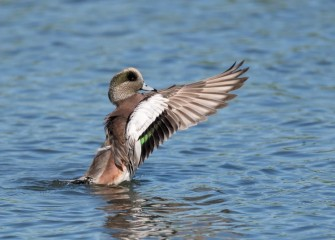 """American Wigeon""Photo by Greg Craybas"