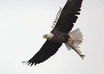"""""""Nice Catch""""Bald EaglePhoto by Cheryl Lloyd"""