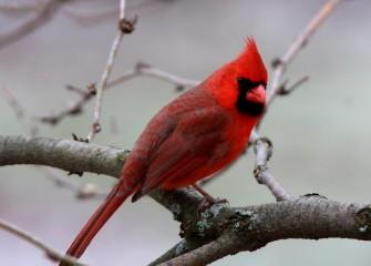 """Cardinal""Photo by Phillip Bonn"