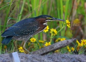 """Green Heron along Nine Mile Creek""Photo by Phillip Bonn"