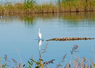 """Great Egret in New Marsh""Photo by Michele Neligan"