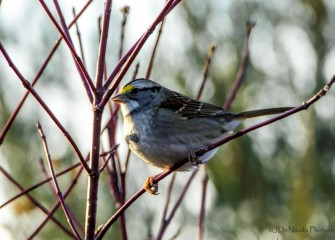 """White-throated Sparrow""Photo by John DeNicola"