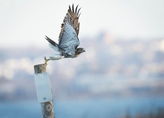 """Red-tailed Hawk Take Off""Photo by Diana Whiting"