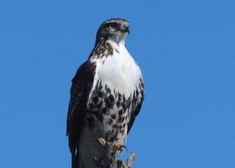 """Red-tailed Hawk""Photo by Tom Lloyd"