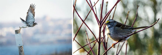 "Left: ""Red-tailed Hawk Take Off"" by Diana Whiting Right: ""White-throated Sparrow"" by John DeNicola"