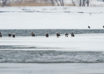 Two to three dozen Bald Eagles regularly spend the winter at Onondaga Lake. The primary attraction is the open water at the south end of the lake in cold winters. (Photo by Greg Craybas, March 2015.)