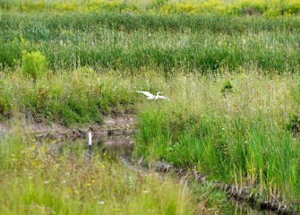 A Great Egret is spotted in the restored Geddes Brook wetlands. During the August 19th paddle, 31 different bird species were spotted.