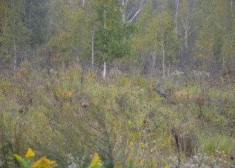 Wild Turkeys forage along an upland slope planted with diverse native species.