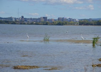 Two Great Egrets are spotted wading along the western shoreline of Onondaga Lake.