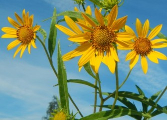 The giant sunflower is a perennial wildflower native to eastern North America.