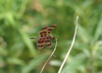 A Halloween pennant, a type of dragonfly, clings to a dried stem.