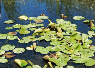 Water lilies provide cover for fish beneath the water's surface. Muskrats or turtles may eat the leaves, and ducks the seeds.