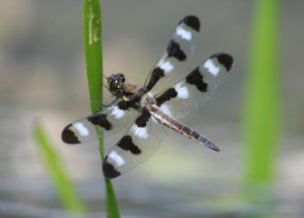 A twelve-spotted skimmer rests briefly. Skimmers are dragonflies that fly low, or skim, over water, catching insect prey.
