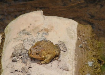 An American Toad rests on a log.
