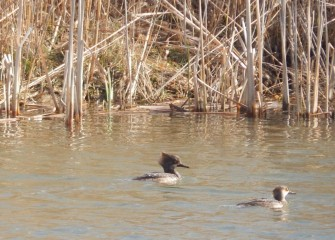Hooded Mergansers are spotted in the LCP wetlands.