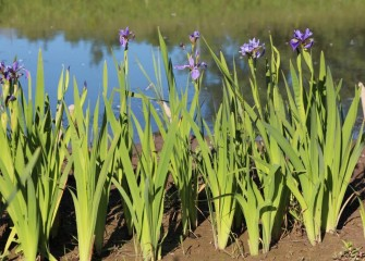 Blue flag iris bloom along the shores of Nine Mile Creek.