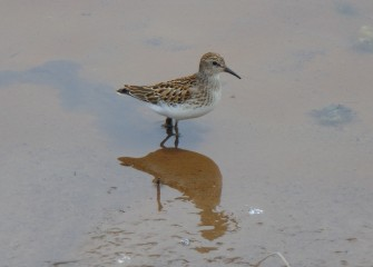 A Least Sandpiper wades near the creek bank.