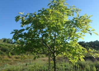 A northern red oak planted near Nine Mile Creek will provide increasing cover, nesting sites and acorns for wildlife as it ages.