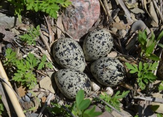 A nest likely belonging to Killdeer, a shorebird species, is found on the ground.