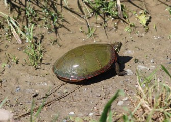 A brightly colored Eastern Painted Turtle warms itself in the sun along the muddy edge of the water.